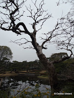 Old tree by pond - Tokyo Imperial Gardens, Japan