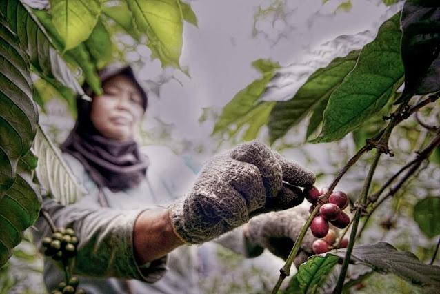 petani kopi memetik kopi petik merah dari bengkulu