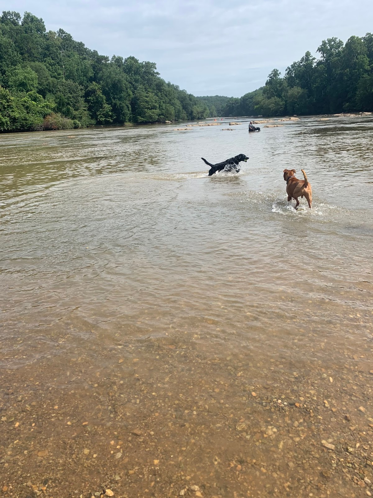 Albus leaps through the river waters with a couple of other dogs, he's stolen someone's tennis ball.