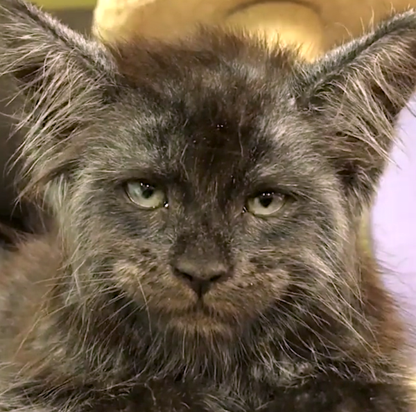 Amazing human face on cute Maine Coon - very special.
