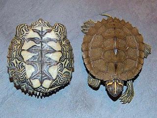 kura-kura-mississippi-map-turtle.jpg
