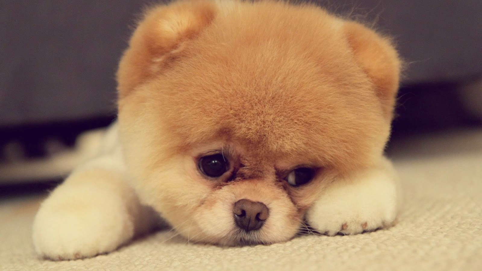 cute and Sad brown dog
