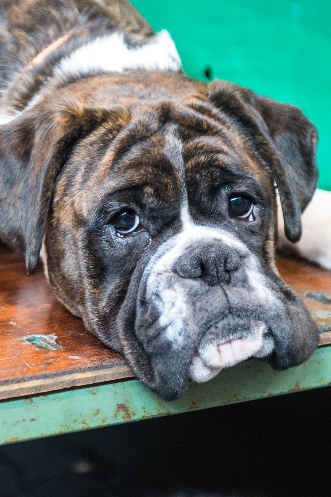 Bbc Documentary Pedigree Dogs Exposed Watch