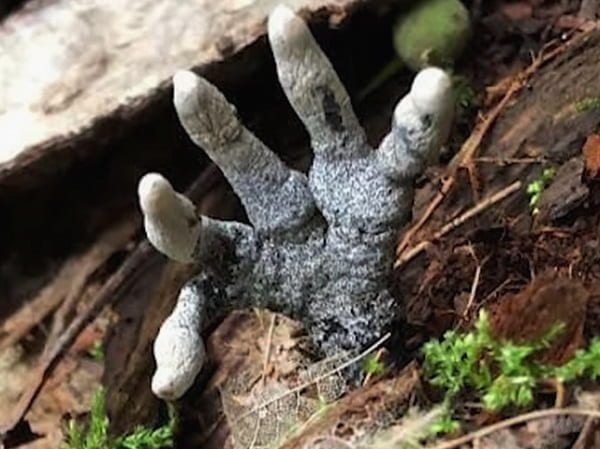 The Dead Man's Fingers   Xylaria Polymorpha   A Corpse Reaching Out From the Earth