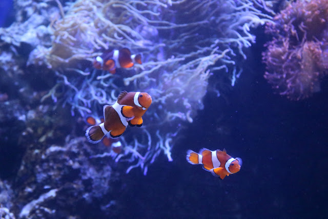 Clown Fish at Waikiki Aquarium