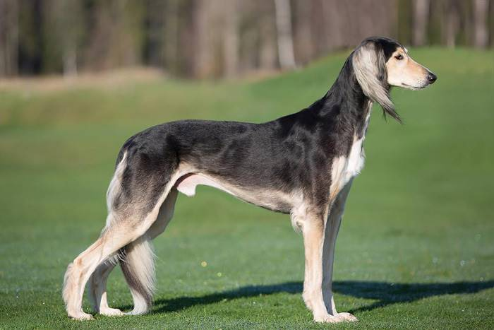 fastest dog breed, what is the fastest dog in the world,