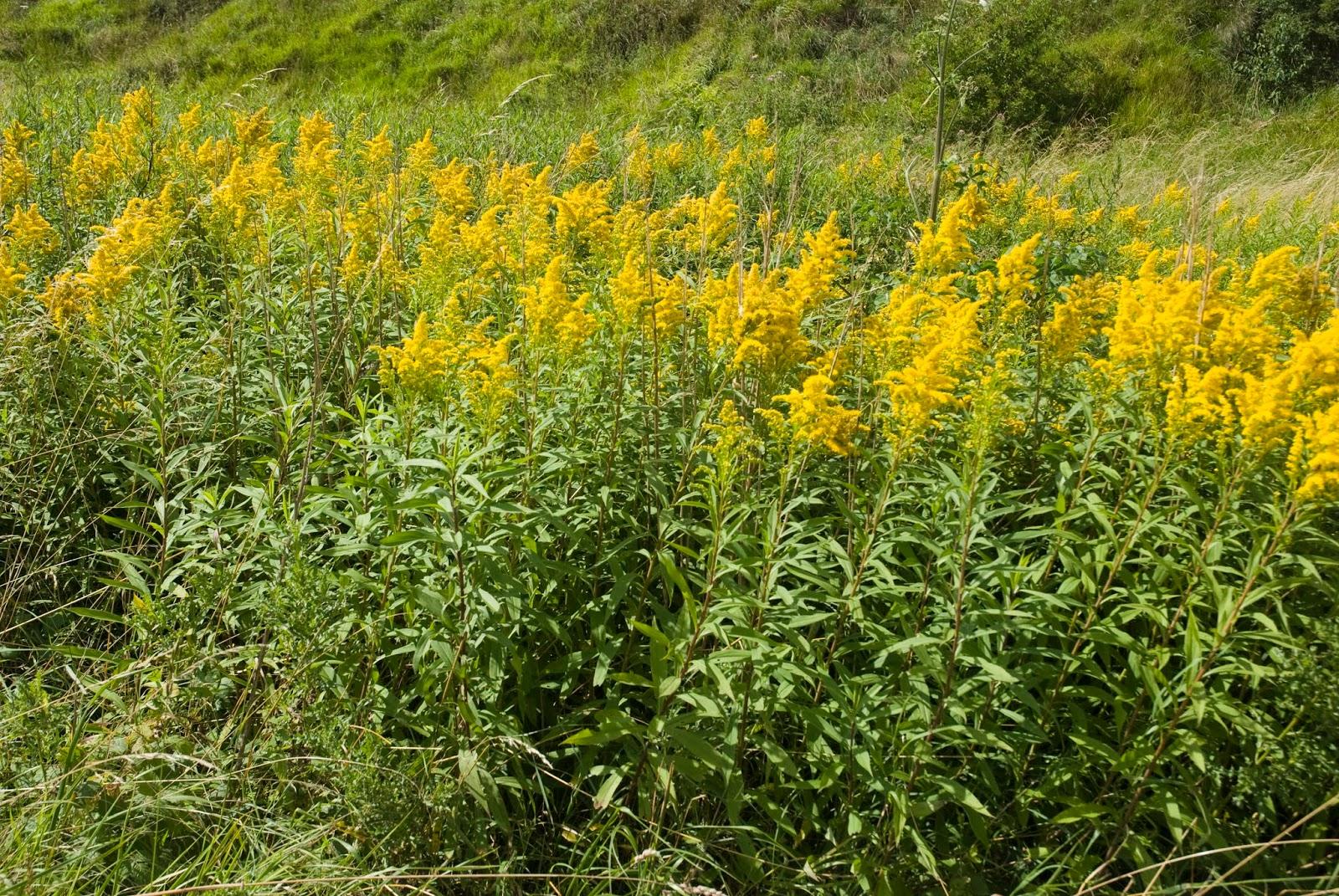 самим желтые соцветия у полевой травы фото монастырь