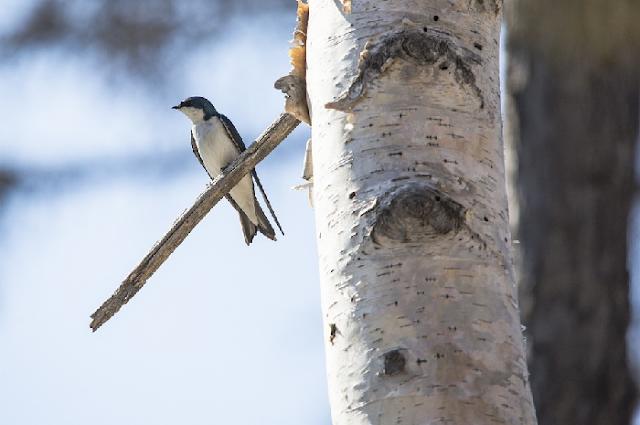 Cara Copy Suara Burung Walet di flashdisk Lain