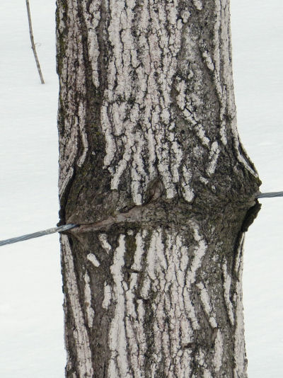 tree growing over fence wire