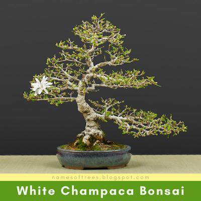 White Champaca Bonsai