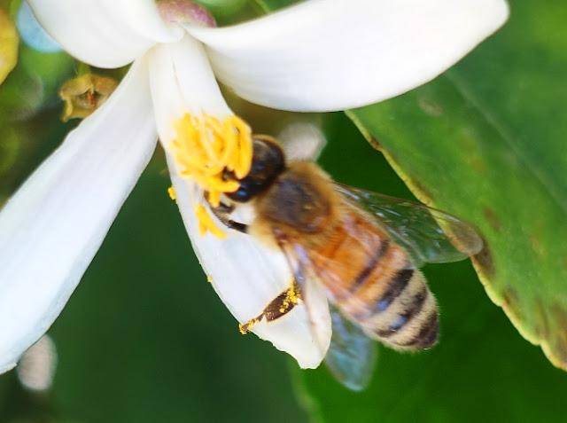 Πωλείται μέλι ανθέων πορτοκαλιάς
