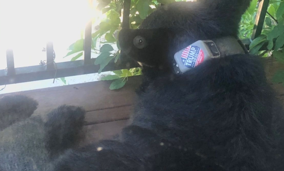 Activists is outraged after a black bear was recently seen in Asheville with a political sticker on its collar.