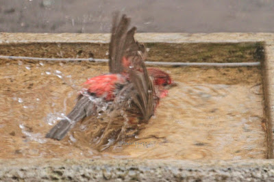 """This image features a male House finch in a cement bird bath that is on my garden floor. He is sitting in the water (albeit splashing) on his breast with his legs tucked under his body. His wings are raised on either side of his body. House finches are featured in volume one of my book series, """"Words In Our Beak.""""  Info re these books is in another post on my blog @ https://www.thelastleafgardener.com/2018/10/one-sheet-book-series-info.html"""