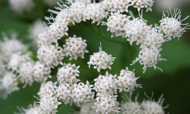 Tanaman Bunga Snakeroot Putih yang bisa membunuh
