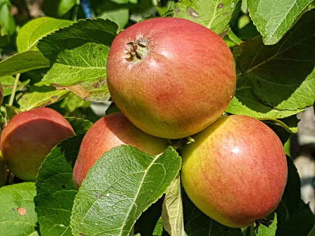 Omenalajikkeet Kuvina