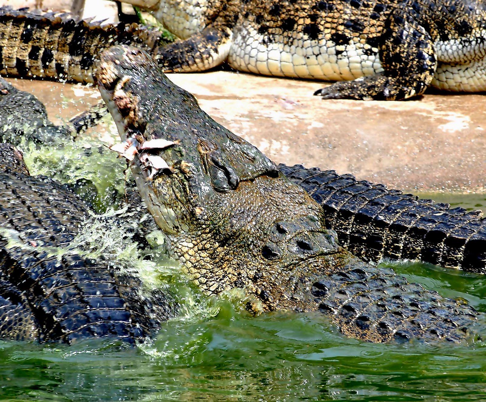 Biggest Crocodile In History