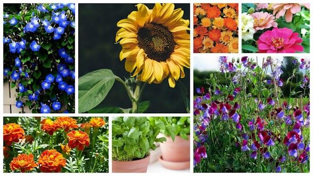 7 Καλοκαιρινά Φυτά που εύκολα θα καλλιεργήσετε από Σπόρους