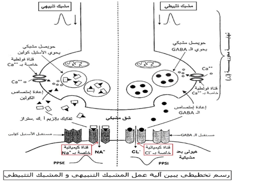 رسم تخطيطي يبين آلية عمل المشبك التنبيهي والمشبك التثبيطي