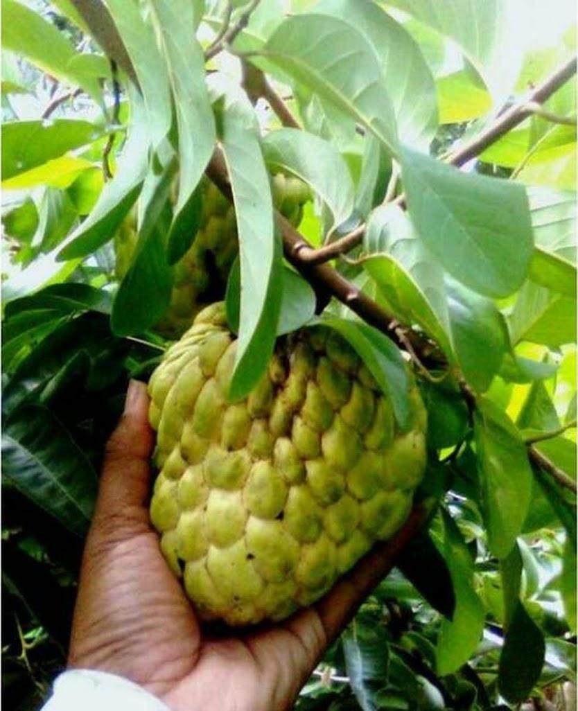 Bibit Tanaman Buah Srikaya Jumbo 60cm Gorontalo
