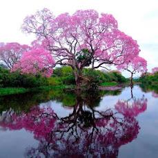 A beautiful Empress Splendor tree in bloom by a lake.