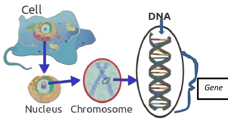 relationship with dna genes and chromosomes