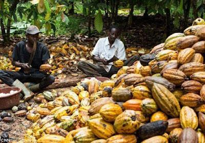 cocoa export