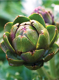 The Garden Oracle's Artichoke Seed, Artichoke Plant & Artichoke Products Page:  Modern Hybrid Artichoke Seeds & Artichoke Plants, Treasured Heirloom Artichokes, Standard Artichoke Varieties and Certified Organic Artichoke Types from Multiple Suppliers.  All the Artichoke Seeds & Artichoke Plants you Need for Your Kitchen Garden, Raised Beds, Organic Food Forest, Edible Landscape Plantings and Container Food Gardens!  Plus Related Artichoke Items such as Kitchen Utensils, Cookbooks, Gardening Supplies, Tools, Home Items, Artwork & Decor.  Happy Garden Shopping!