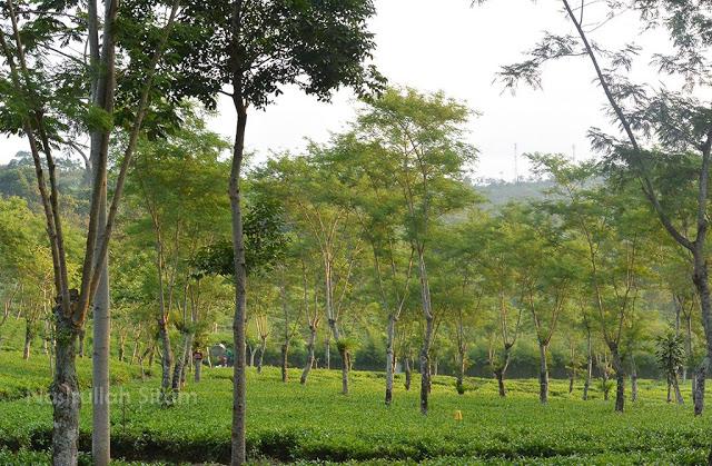 Perkebunan Teh Wonosari, Lawang