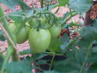 Tomato production photos - Modern Agriculture farming in Kenya