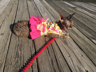 Kely the Cornish Rex on the Boardwalk at Lake Anne