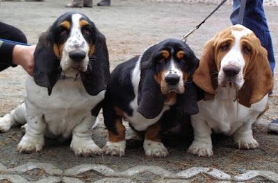 basset-hound-dog-كلب-الباست