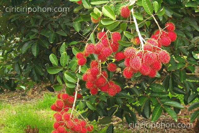 Ciri Ciri Pohon Rambutan