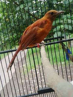 Burung cucak rotan atau ada yang menyebutnya juga dengan nama cucak merah Suara Cucak Rotan