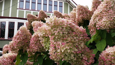 A very uniquely colored and shaped Hydrangea