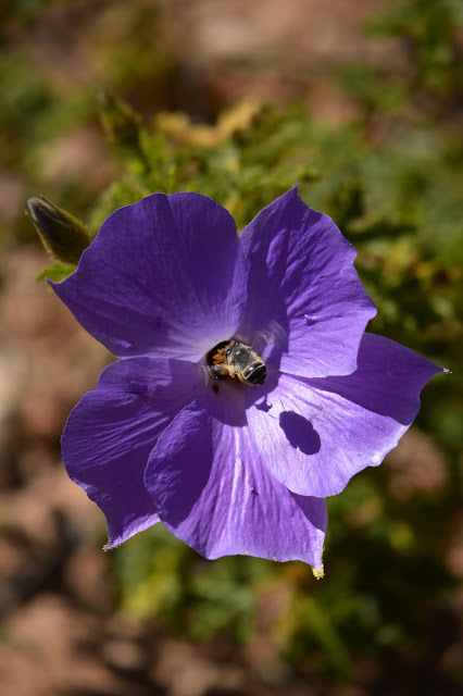 blue hibiscus, alyogyne, huegelii, bee, photography, amy myers, journal of a thousand things