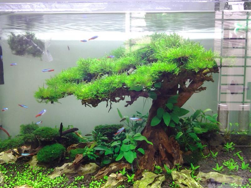 Bố cục hồ thủy sinh bon sai cấy rêu