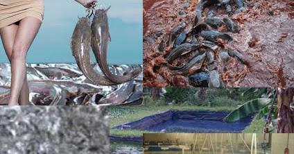 Kupas Tuntas Waktu Pemberian Makanan Lele Dan Analisis Pakan Alam Ikan