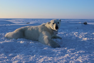 A polar bear wears the special camera collar on the ice of the Beaufort Sea. (Credit: Anthony Pagano / USGS) Click to Enlarge.