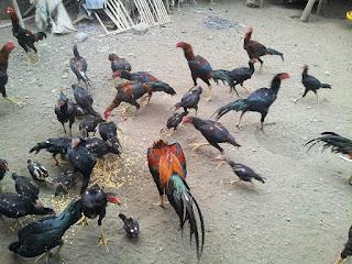 Masalah yang sering ditemui dalam beternak ayam bangkok aduan