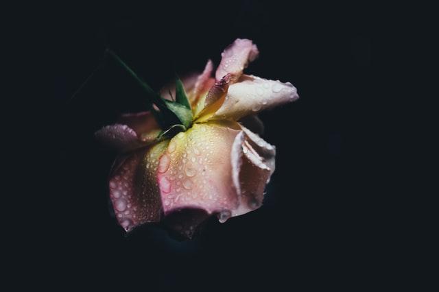 كيف أستخدم ماء الورد للشعر