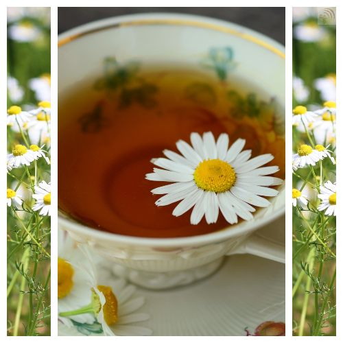 Egyptian chamomile tea