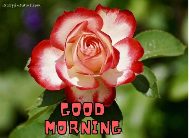 good morning red rose hd wallpaper