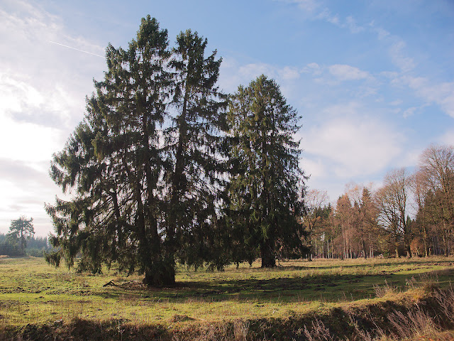 Riesige Nadelbäume. Ein seltener Anblick.