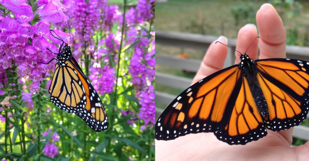 Strange How To Raise Monarch Butterflies A Basic Guide The Jersey Inzonedesignstudio Interior Chair Design Inzonedesignstudiocom