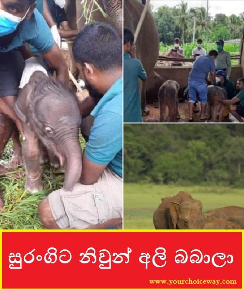 සුරංගිට නිවුන් අලි බබාලා 🐘🐘❤️♥️ (Baby Elephant - Ali Babala) - Your Choice Way