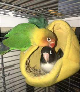 PROSES INKUBASI (MENGERAM) LOVEBIRD