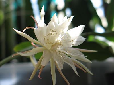 Hoa quỳnh 13