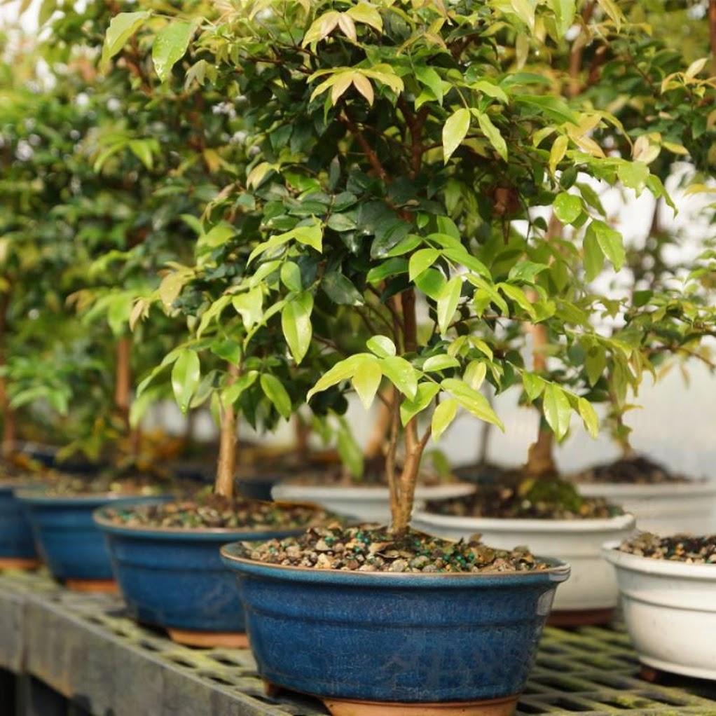 Bibit Tanaman Buah Anggur Pohon Brazil Jawa Barat