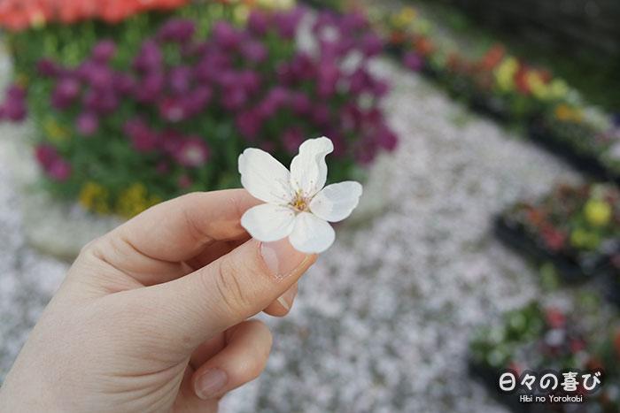 focus fleur de cerisier sakura