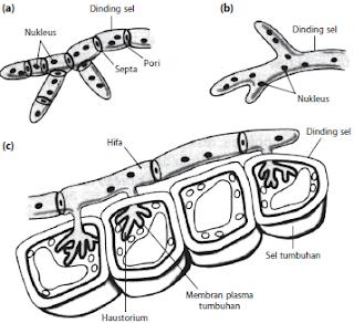 Bentuk hifa pada jamur (a) hifa bersekat (hifa septa), (b) hifa tidak bersekat (hifa sinositik), dan (c) hifa haustoria